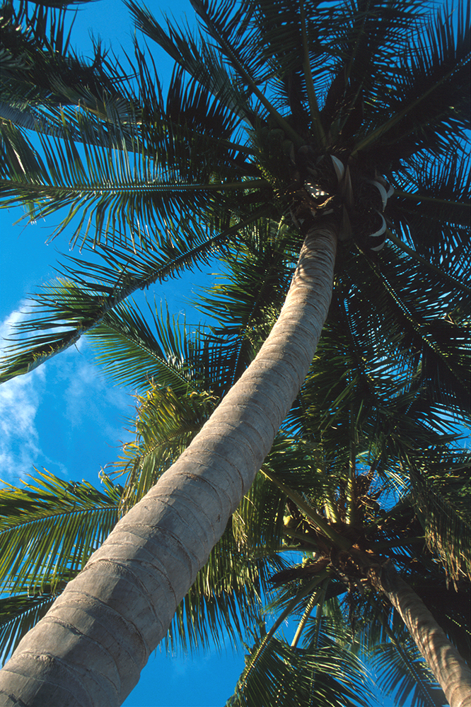 Palm Tree, photo by Carlos Sanchez