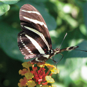 Butterflies of the Zihuatanejo Area