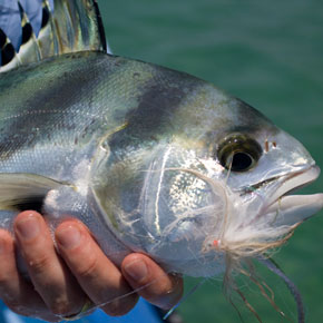 World Class Roosterfish