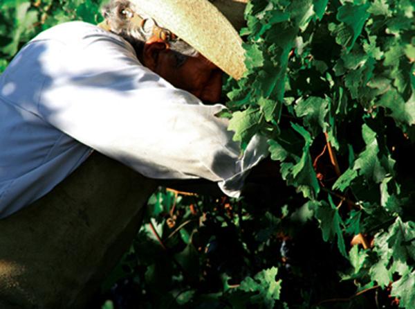 Harvesting at Casa Madero