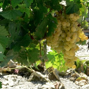 Grapes growing in Valle de Guadalupe