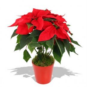la flor de Nochebuena, Cross-cultural beauty