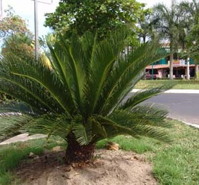 Cycas revoluta, the Sago Palm, cycad