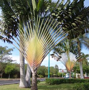 Ravanala-madagascarensis-Traveler-Palm