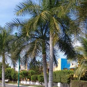 Roystonea-regia-Royal-Palms